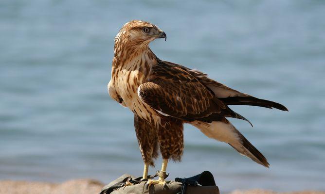 La cetrería es una de las formas de controlar poblaciones de aves. / Foto: www.byostasys.com/