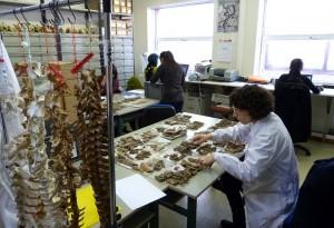 Laboratorio de Arqueozoología del IIIPC.