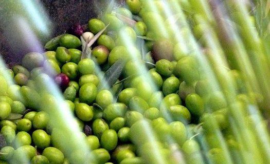 Descubren 10 nuevas variedades de olivo en la provincia de Huesca