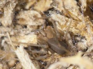 Arañas Loxosceles en las islas Canarias.