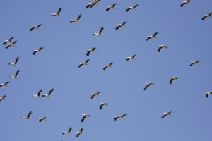 El segundo fin de semana de mayo se celebra el Día Internacional de las Aves Migratorias. / Foto: www.fundacionmigres.org