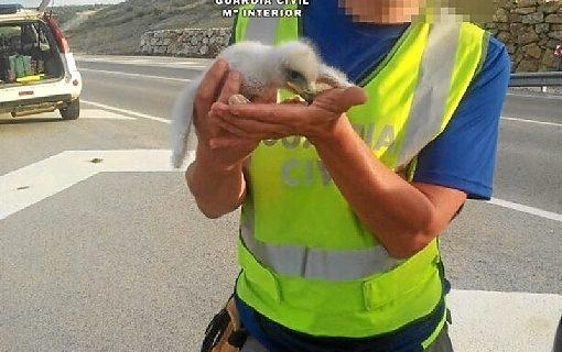 La Guardia Civil recupera dos crías de águila real en Málaga