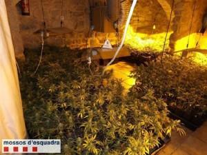 Imagen de la plantación de marihuana encontrada en la masía.
