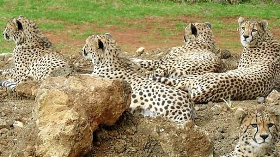El Parque de la Naturaleza de Cabárceno desarrolla un programa de reproducción de guepardos