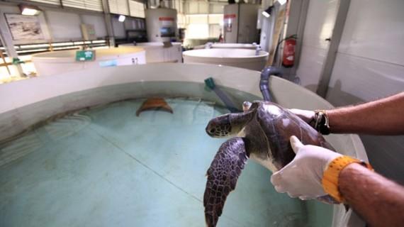 El Arca del Mar del Oceanogràfic ha acogido 200 tortugas marinas desde 2007