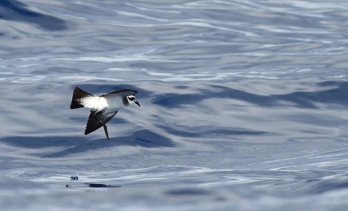 Aves marinas.