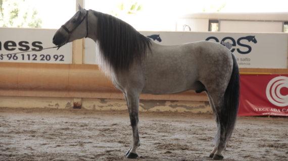 'Indio JT III', por segundo año consecutivo nombrado el caballo de pura raza española más bello de Europa