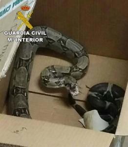 La serpiente capturada.