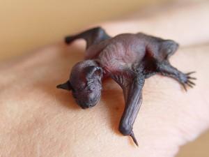 Una cría de murciélago. / Foto: wikipedia.