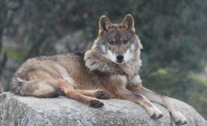 Un lobo adulto. / Foto: Fernando Gallego.