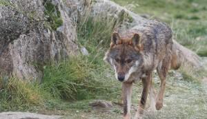 Lobo adulto al trote. / Foto: Fernando Gallego.