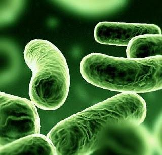 Consumir probióticos durante un mes ayuda a disminuir la acumulación de grasa en el hígado
