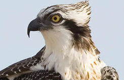 La población reproductora de águila pescadora en Andalucía obtiene los mejores resultados desde 2003
