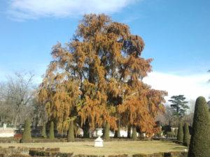 El árbol más antiguo de Madrid.