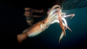 Calamar gigante.