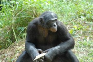 Más de 200 cerebros de chimpancés han sido estudiados en esta investigación. / Foto: Wikipedia / Pierre Fidenci