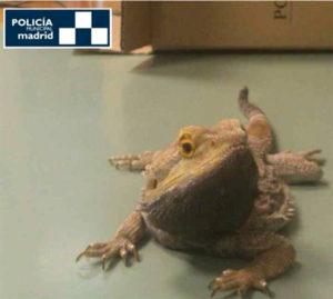 El dragón barbudo hallado en las calles de Madrid. / Foto: Policía Local de Madrid