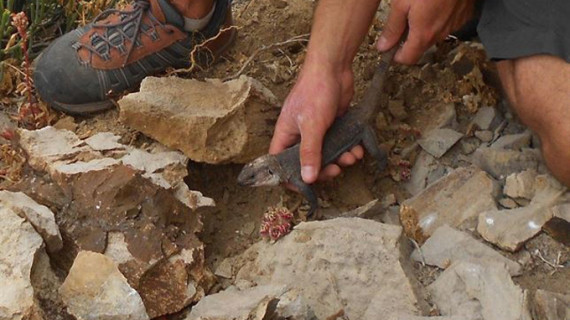 Más de 130 lagartos gigantes 'toman' La Gomera