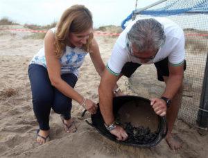 Los huevos de tortuga boba depositados en la playa valenciana.