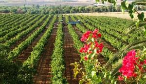 Viñedos del Condado de Huelva.