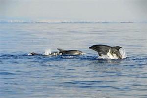 Delfines mulares avistados