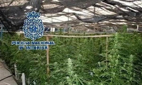 Intervienen casi 9.000 plantas de marihuana y varias armas en una finca de Vélez-Málaga