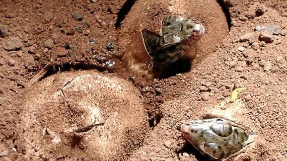 La Gomera se convierte en cuna de 78 ejemplares de lagarto gigante