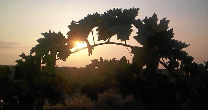 La iniciativa 'Apadrinaunolivo.org' alcanza los 500 apadrinamientos y los mil olivos recuperados