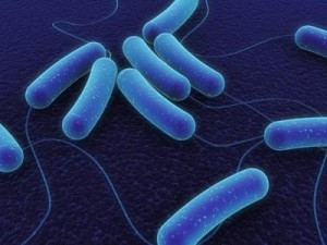 Bacillus subtilis.