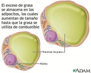 El exceso de grasa se almacena en los adipocitos.