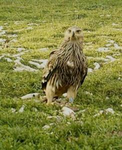 Águila oriental