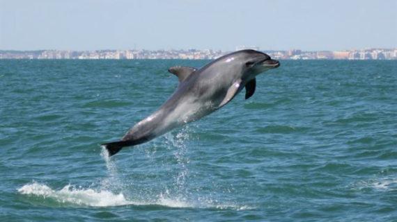 Confirman la existencia de dos poblaciones diferenciadas de delfín mular en el Golfo de Cádiz y el Estrecho