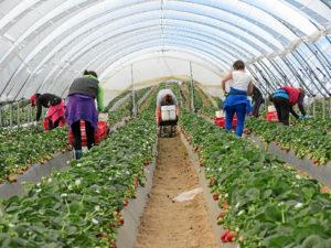 Los agricultores eran un poco reacios al cambio pero poco a poco van comprobando los beneficios de esta técnica.