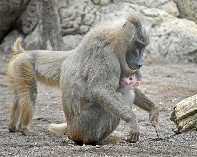 El mandril es una especie amenazada. / Foto: Bioparc