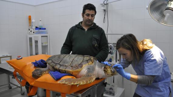 Nace 'Tortuga a bordo', un proyecto de recuperación de tortugas marinas