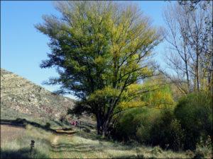 El chopo de Teruel que compite por ser el árbol europeo del año.