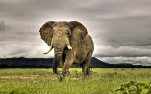 Elefante africano. / http://www.imagui.com