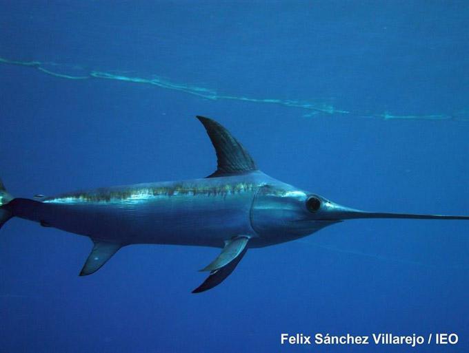 Ejemplar de pez espada. / Foto: IEO