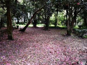 Camelias creando una alfombra de color en el pazo de Santa Cruz de Ribadumia. / http://www.pazoderivadulla.com
