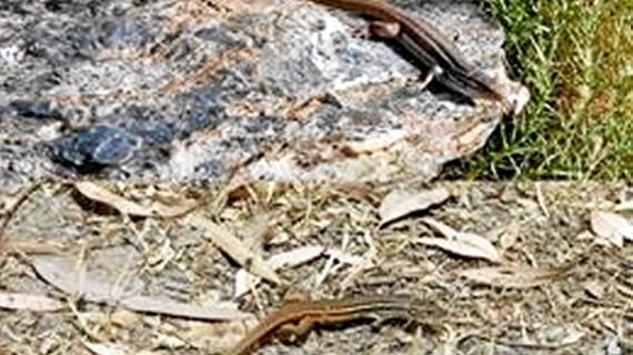 Descubren que una especie de lagartija es de mayor tamaño cuando habita en cotas más altas