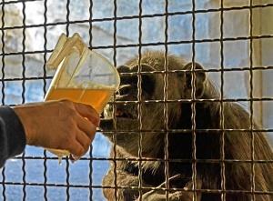 Un chimpancé bebe un caldo caliente