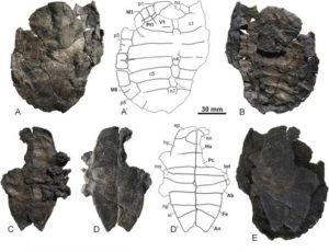 La nueva tortuga Toremys cassiopeia era de agua dulce y vivió hace más de 100 millones de años. / Foto: Fundación Dinópolis