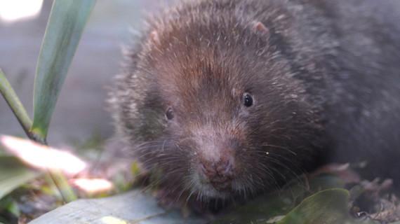 El debilitamiento del monzón impulsó la adaptación de los roedores a la vida subterránea