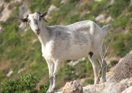La cabra salvaje mallorquina ayudó a mantener la diversidad vegetal de la isla