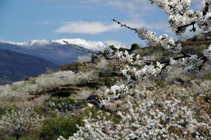 La floración del cerezo en el Valle del Jerte, una experiencia inolvidable