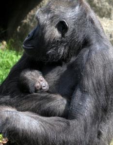 La gorila sostiene a su cría en brazos. / Foto: Zoo de Barcelona.