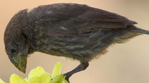 Científicos del CSIC señalan que las aves de Galápagos se alimentan de más de 100 especies de flores