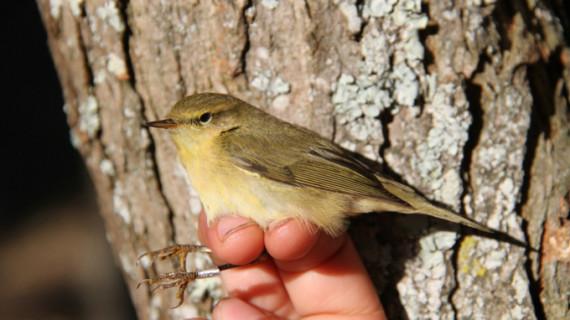 Identifican más de 1.400 ejemplares de 37 especies diferentes de aves en la gallega Estación de Ons
