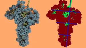 La densidad de uvas por racimo.