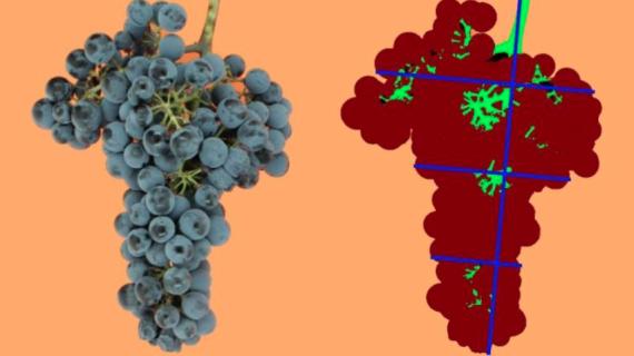 Un sistema estima la densidad de los racimos de uva de una forma objetiva y no invasiva